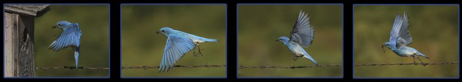 Male bluebird flying toward nesting box with insect.