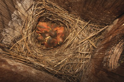 Young bluebirds are blind and naked with some down.