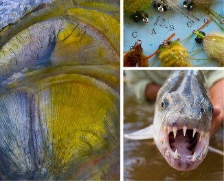 Clockwise from left: Cheeks of a Golden Dorado, Bolivia | Crab Patterns for Striped BAss, Casco Bay, Maine | African Tiger Fish, Tanzania, Africa
