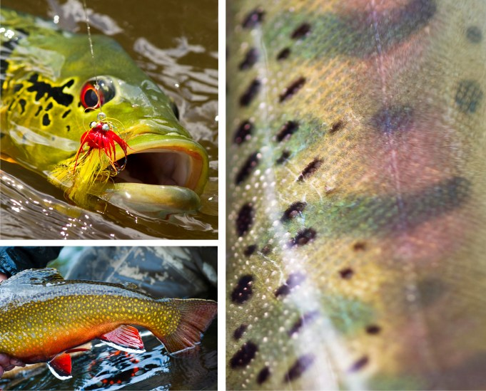 Clockwise from left top: Peacock Bass, Amazon River, Brazil | Brook Trout, Corcovado River, Argentina | Japanese Yamame Salmon