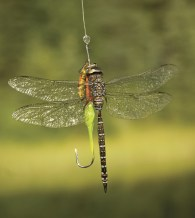 Fly fishing; a dragon fly falls for Max Marty's lure.