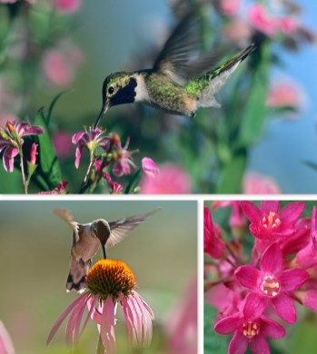 Black-chinned Hummingbird with Flowering Currant