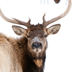 The Jackson elk herd roams the heart of the Greater Yellowstone Area, and the NER was pivotal in rescuing this majestic herd early in the 20th century.