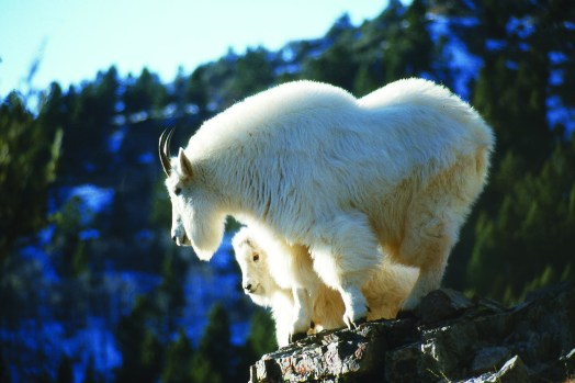 An adult female (nanny) goat and her 10-month-old kid in full winter pelage. Photo by Bruce Smith