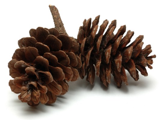 Pinecones_web.jpg