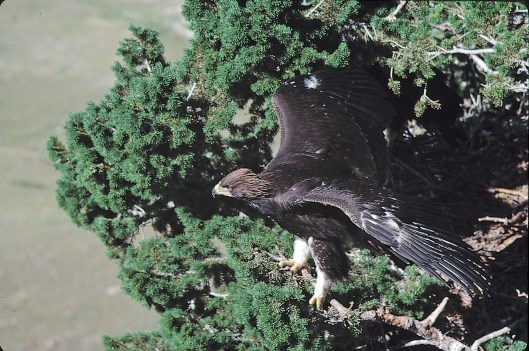 Ready to go. A couple of days before his first lift-off to take on the countryside; only seen the last nine weeks from the nest. This individual bird has practiced like no other fledgling. Just three days away from leaving the nest he was performing flights unparalleled in my years of eagle observations.