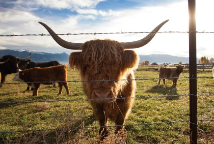 Scottish Highland cattle are raised in nearby Bridger Canyon at MT Pockets Ranch. Characterized by their long horns and shaggy coats, they are a breed known to thrive in high altitude environments.