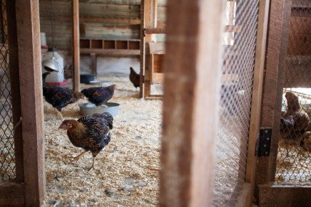MT Pockets Ranch is home to chickens whose eggs are used in a variety of menu items at Over The Tapas.
