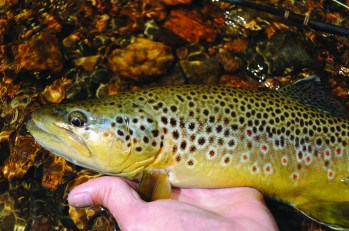 Along the middle section, especially, anglers can tangle with decent-sized browns (pictured) and rainbows. Photo by Jeff Erickson