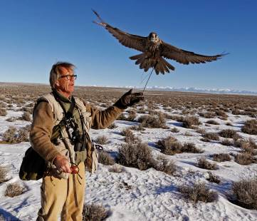 After being dehooded, one of Chindgren's high-strung falcons takes to the air