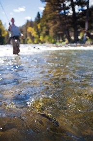 Montana's famed blue-ribbon fishery, Rock Creek, saw a shift in the timing of its hatches. Photo by Michael Chilcoat