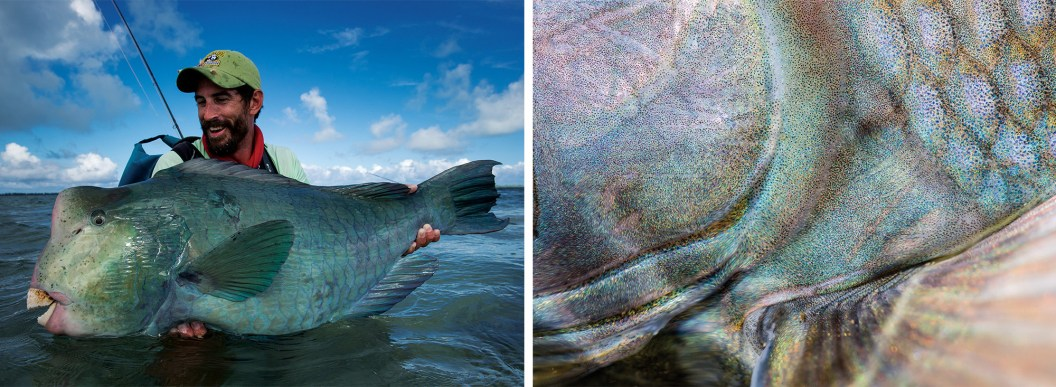 "A bumphead parrotfish on the flats of St. Brandon's Atoll. The ""bumpies"" are one of the most bizarre fish that can be caught on a fly: more like a creation from the mind of Dr. Suess than a known and recognized sport fishing species! By Jim Klug 
