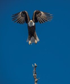 A bald eagle lifts off from a tree in southwest Montana.