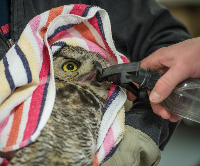 Jordan Spyke, assistant director at MRCC, gives an injured greathorned owl a drink of water from a spray bottle after cleaning its injuries.