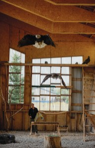 Montana Raptor Conservation Center executive director Becky Kean watches as eagles exercise their wings inside the flight barn. The barn is used to help rehabilitate birds and prepare them for release.