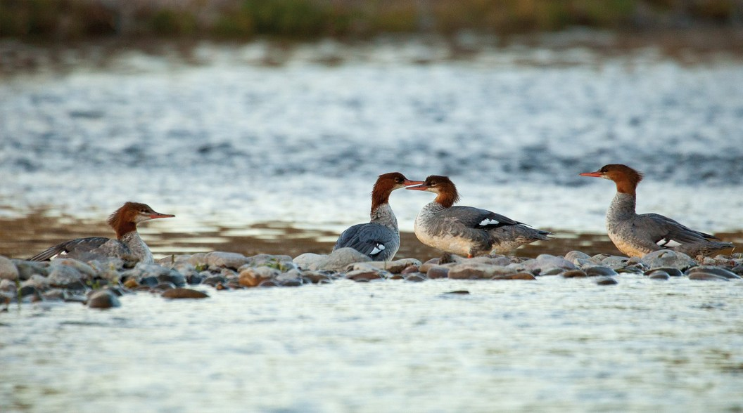 Female red-breasted merganser ducks are just one of the waterfowl species that call the river home.