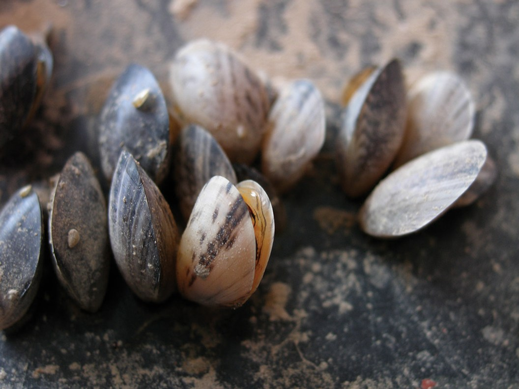 Quagga mussels. Photo by U.S. Fish & Wildlife Service