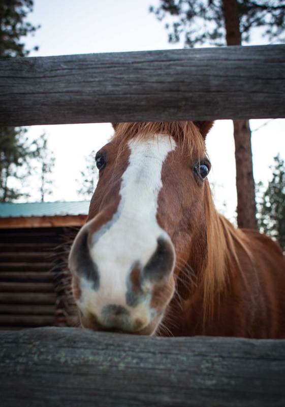 A horse begs for a pet on the nose at the Double Arrow Ranch in Seeley Lake.