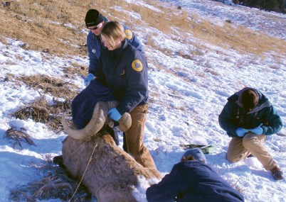 Using a variety of techniques (including helicopter transport), biologists from Montana Fish, Wildlife and Parks often work with specialist contractors to trap wild sheep within healthy populations and relocate them to areas where the species had previously been extirpated.