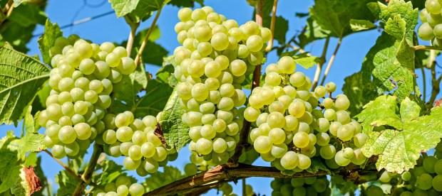 grapes-2656259.jpg