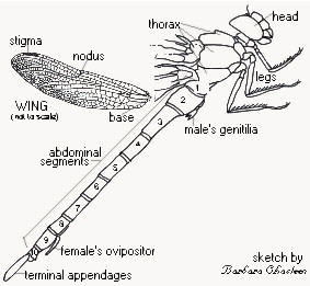 hissing cockroach diagram 2005 ford escape alternator wiring dragonfly body parts related keywords - long tail ...