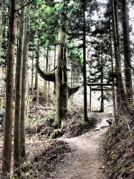 "Tenguno Koshikakesugi ""Tengu Tree"" Mount Mitakesan; Tokyo Japan #dramatictone"