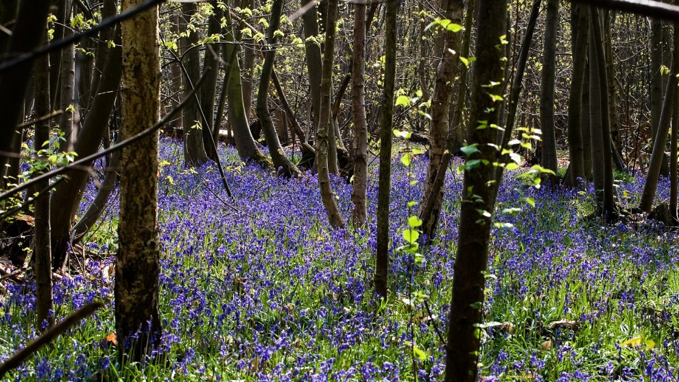 find bluebell woods online