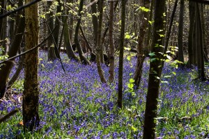 find bluebell woods online