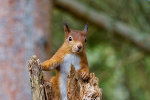 UK red squirrel