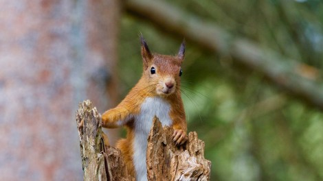 UK red squirrel
