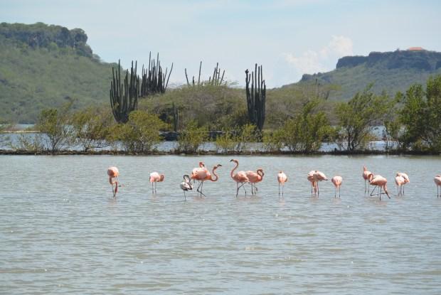 Wild Flamingos, Curacao