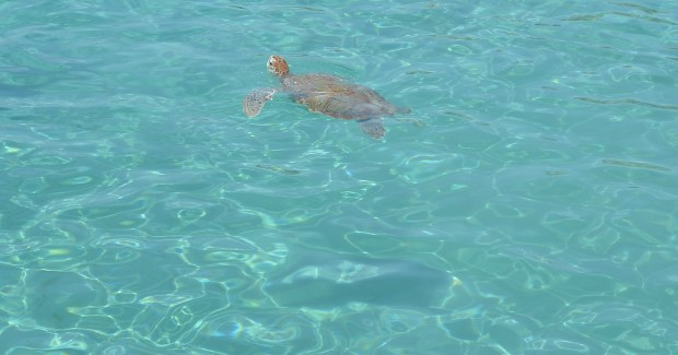 Turtle in Curacao