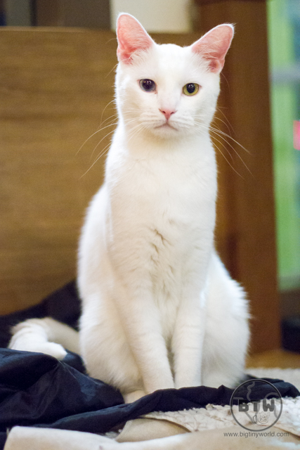 A white cat sitting pretty at a cat cafe in Seattle, Washington