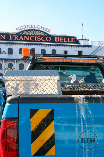 A seagull on a truck at a pier in San Francisco | BIG tiny World Travel