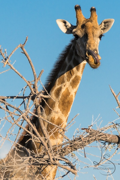 giraffe-1-1