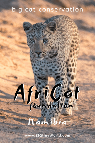 AfriCat - Big Cat Conservation (Video) | BIG tiny World Travel | We learned about the conservation efforts for Cheethas and other big cats by Africat and we gladly support them. Check out our latest video| #travel #africatravel #okonjima #bigcats #Africat #shadeadventures