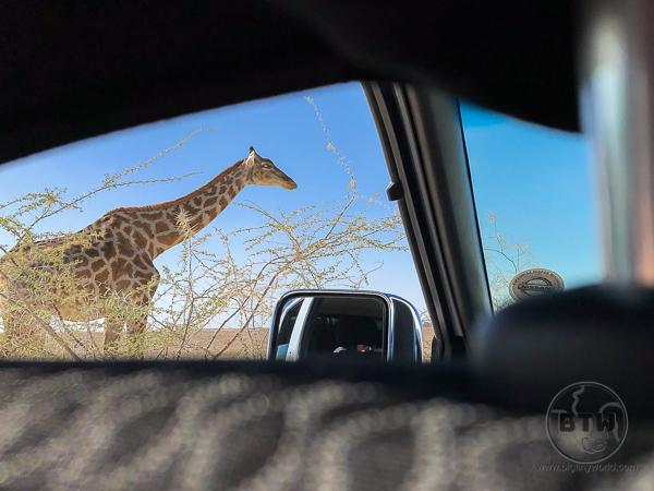 giraffe-5