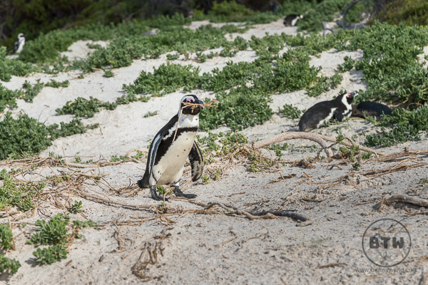 Penguins on Boulders Beach in South Africa holding twigs
