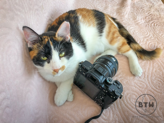 A calico cat, Kedi, laying next to Brianna's camera | BIG tiny World Travel
