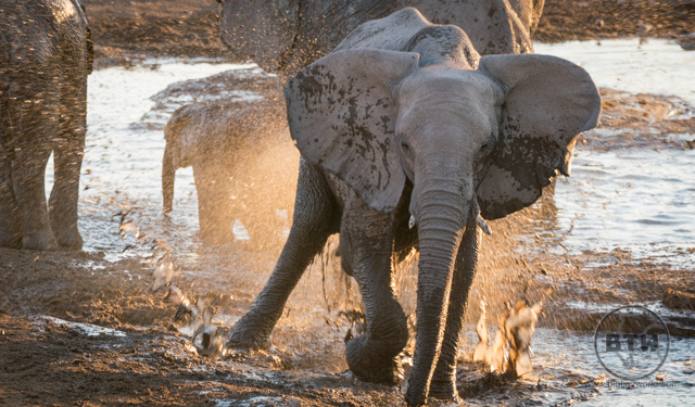 An elephant splashing in a watering hole in Etosha National Park, Namibia