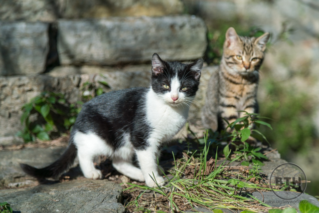 A tux and tabby kitten in Istanbul