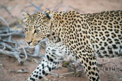 Amali, the beautiful leopard we found in the Okonjima Nature Reserve in Namibia