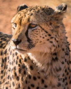 Sam, the beautiful cheetah at the Okonjima Nature Reserve in Namibia