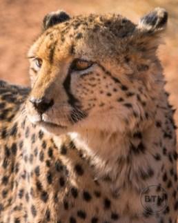 Sam, the beautiful cheetah at the Okonjima Nature Reserve in Namibia