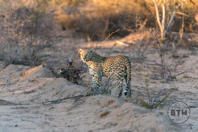 A leopard at sunset in Okonjima Nature Reserve in Namibia