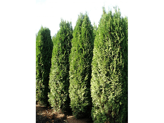 Privacy Trees  Leyland Cypress  Arborvitae Trees  Big