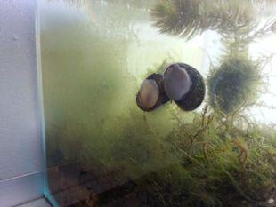石巻貝のコケ掃除効果