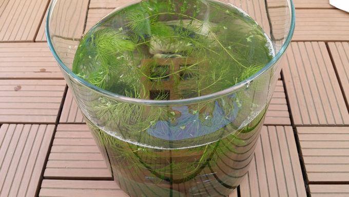 12月初旬の稚魚水槽 (水足し後)