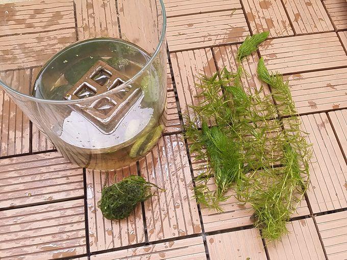 2月中旬 自宅の室内水槽(稚魚用) 水草を取り出す