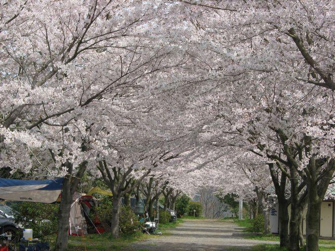 イレブンオートキャンプパーク 桜満開